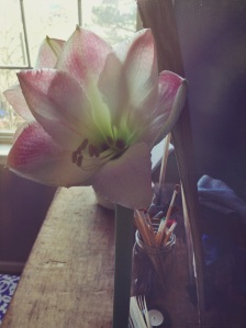 an amaryllis that looks so lovely in the morning light